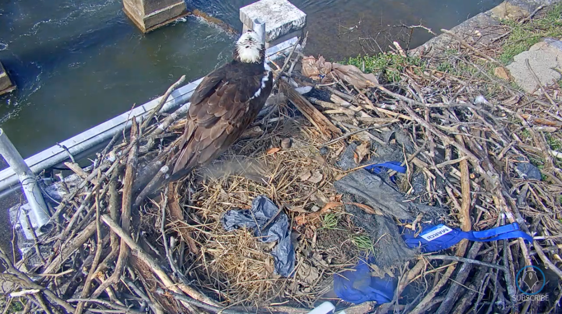 Plenty of Action at the RVA Osprey Cam